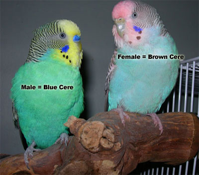[تصویر:  female-and-male-parakeets.jpg]