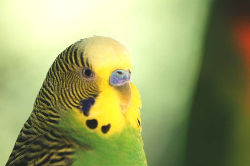 Green Yellow-Face Male Parakeet