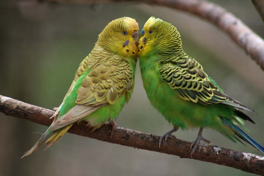 Green Yellow-Face Female and Male Parakeets